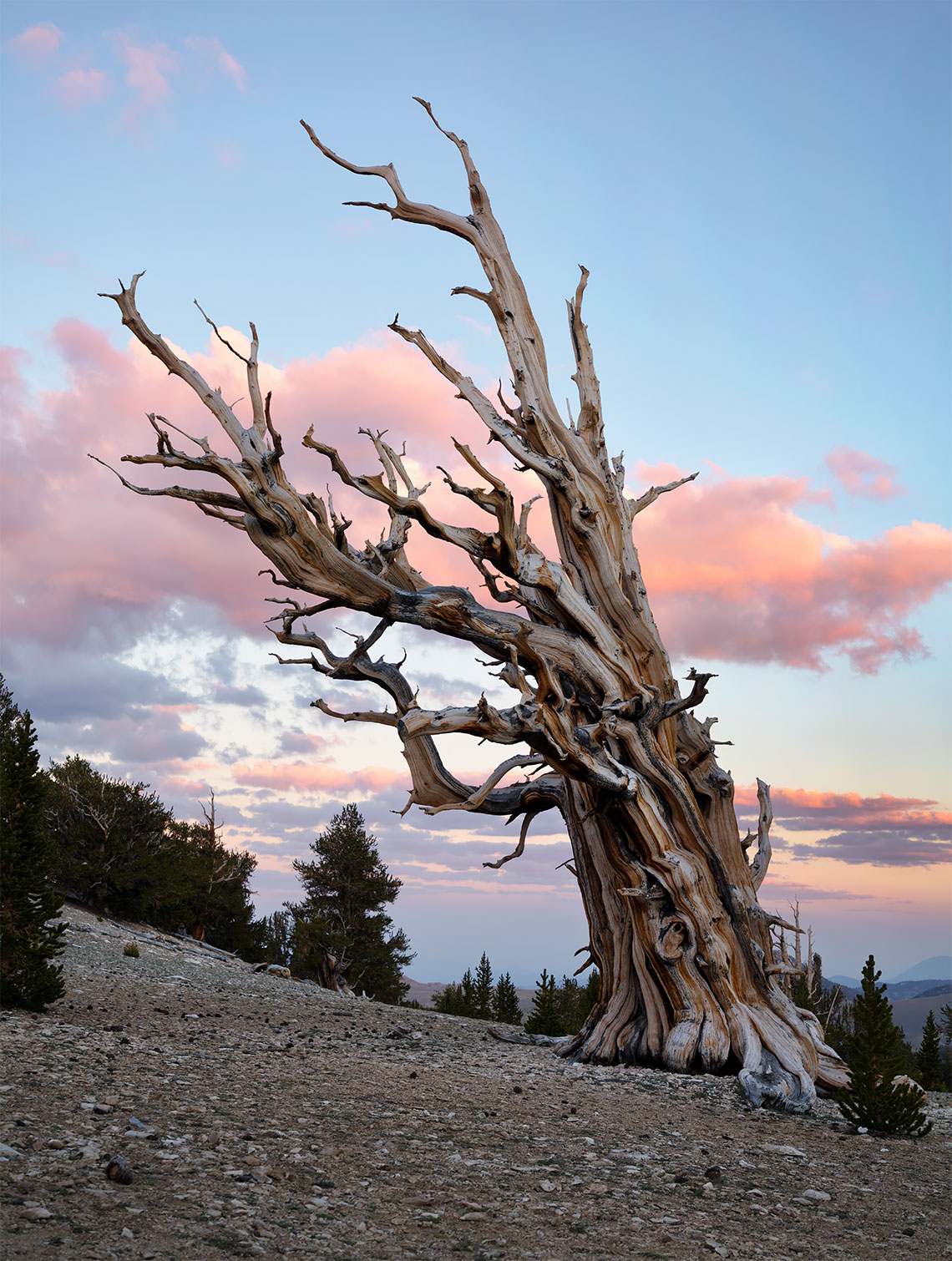 bristlecone_sunset