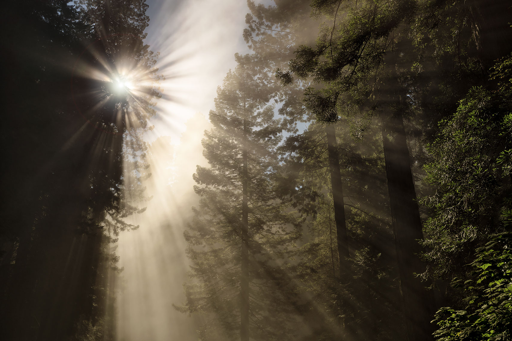 redwood_rays_web